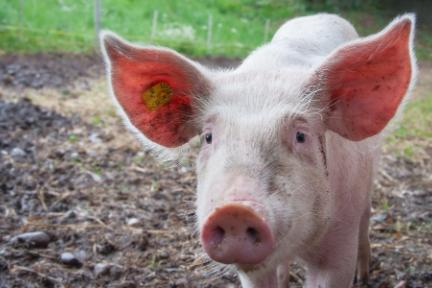 主张无接触、无应激式AI养猪,「小龙潜行」实现低成本的生猪识别 农业2025