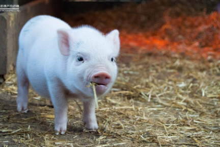 养猪业也需要产品经理吗?