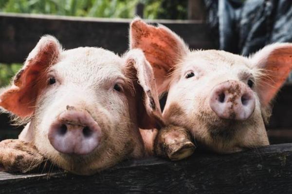 科技公司集体进军养猪,底层逻辑是什么?
