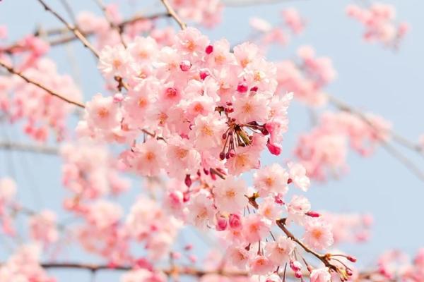 樱花限定,一场属于春天的新型骗局